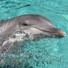 ¿Son los delfines más inteligentes que los humanos?