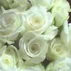 Tipos de rosas blancas