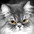 Problemas respiratorios del gato persa