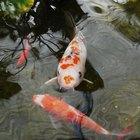 Goldfish Behavior Between Different Sexes