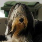 ¿Cuáles son los tratamientos para la uveítis en perros?