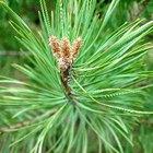 Los fertilizantes orgánicos de un árbol de pino