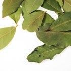 Enfermedades del arbusto de laurel compacto