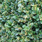 The best shrubs for a tall screen quickly