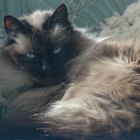 As diferenças entre os gatos ragdoll e birmanês