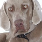 Allergies in Weimaraners
