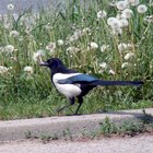 How to Determine the Gender of a Black & White Magpie