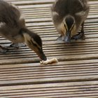 Can Baby Ducks Eat Meal Worms?