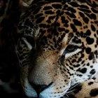 Cómo cuidan los jaguares a sus bebés