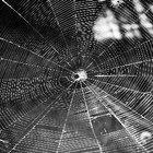 Los hábitos y las adaptaciones de la araña viuda negra