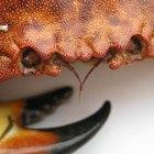 Datos sobre cangrejos de mar