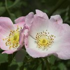 What Is an Evergreen Wild Rose Bush?