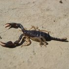Tratamentos caseiros para ferroadas de escorpiões