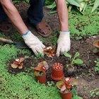Cómo sembrar semillas de tabaco
