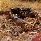 Como ocorre a locomoção dos caranguejos