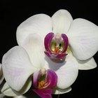 Como tingir flores de orquídea