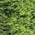 Plantas perennes enanas y en miniatura