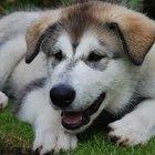 Cómo identificar a un cachorro siberiano saludable