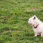 Como tratar um cão com alopecia X