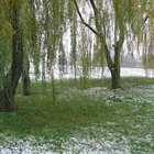 How to Train a Weeping Willow