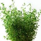Planta tomillo limón abigarrado