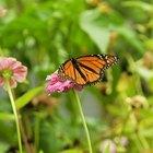 La mariposa monarca frente a la mariposa virrey