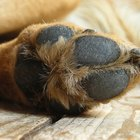 Infección en las almohadillas de las patas de los perros