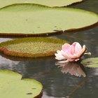 Adaptación de las plantas a la vida en el agua