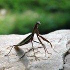 Partes del cuerpo de una mantis religiosa