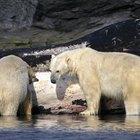 ¿Cómo se aparean los osos?