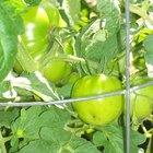 Cómo alimentar a una planta de tomates orgánicos