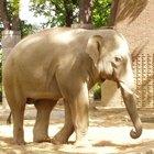 Cómo salvar a los elefantes africanos en vías de extinción