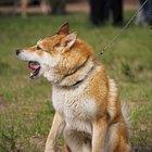 Diferença entre tosses e engasgos em cães