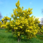How to Prune Mimosa Trees in the UK