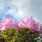 Taking Rhododendron Cuttings