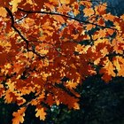 When do oak trees lose their leaves?