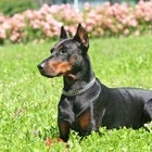 How to Bring a Shiny Coat to a Doberman Pinscher