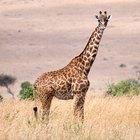 ¿Cómo duermen las jirafas?