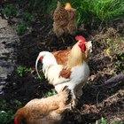 Desparasitantes naturales para pollos y gallinas