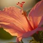 Lista de las diversas variedades de flores de hibisco