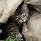 ¿Por qué los gatos tienen bolsitas en las orejas?