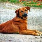 Cómo tratar la displasia de cadera en los perros
