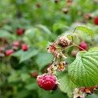 How to Kill Raspberry Plants