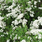 The best shrubs to plant in a wet area