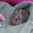 ¿Cómo cuidar a un conejo bebé silvestre?