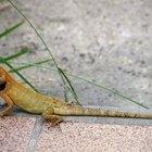 How Do Geckos Breathe?
