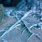 The root system of oak trees