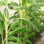 Cuáles son las partes de una planta de banano