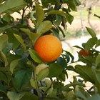 Cómo hacer que un naranjo crezca desde una semilla.
