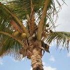 Taxa de crescimento de um coqueiro
